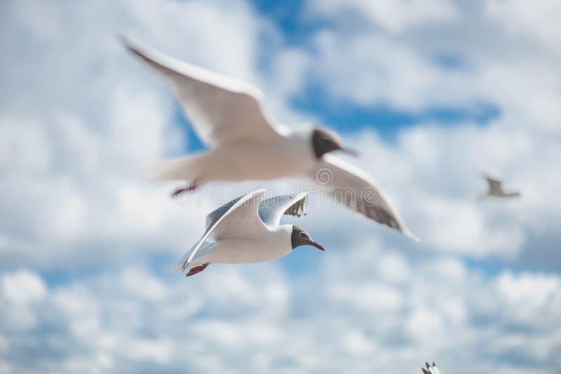 Seemöwen, die gegen einen blauen Himmel fliegen lizenzfreie stockbilder