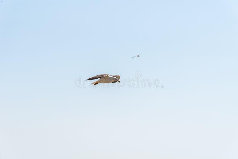 Seemöwen, die gegen Himmel bei Mont Saint-Michel fliegen lizenzfreies stockfoto