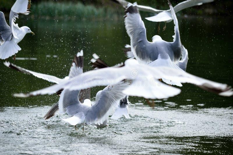 Seemöwen, die im Teich fliegen und landen stockfotografie