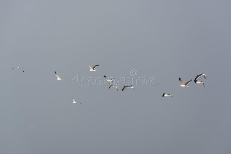Seemöwen, die in die Luft, Cabo Ledo, Luanda, Angola fliegen lizenzfreies stockfoto
