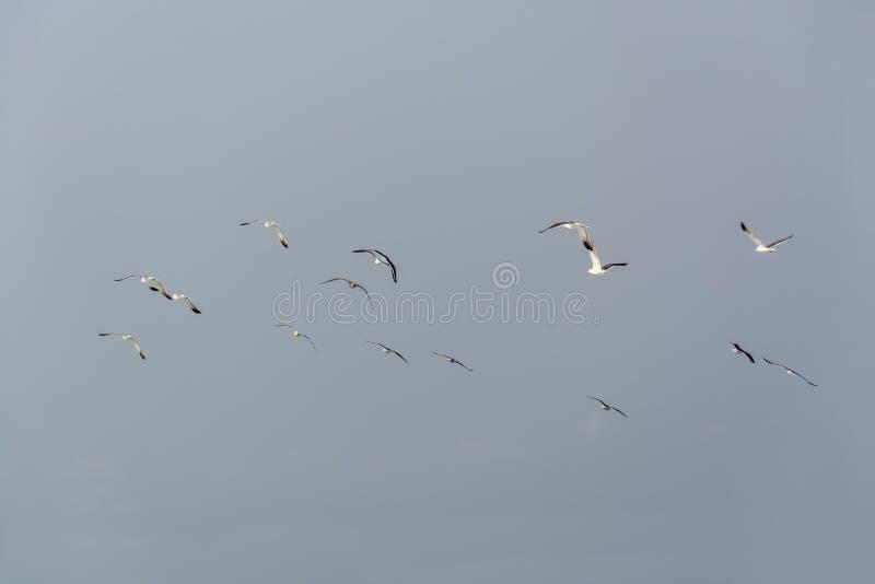 Seemöwen, die in die Luft, Cabo Ledo, Luanda, Angola fliegen stockbilder