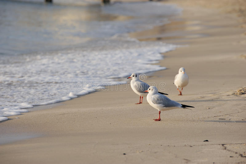 Seemöwen, die Sonnenuntergang auf Ufer überwachen stockfotografie