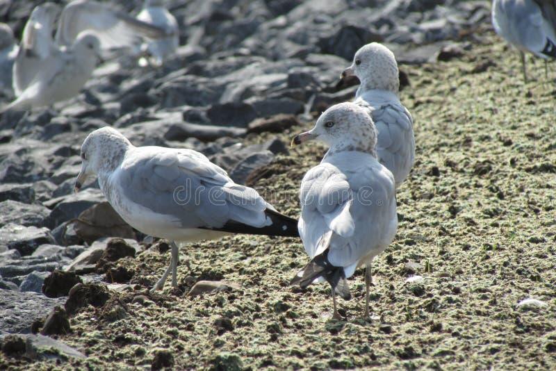Seemöwen durch das Ufer lizenzfreie stockfotos