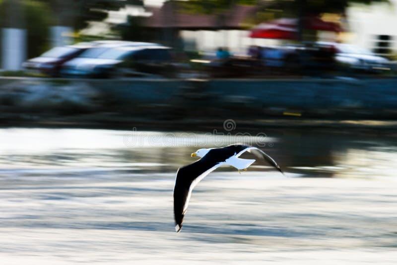 Seemöwen-Fliegen bei Saquarema - Rio de Janeiro - Brasilien lizenzfreies stockbild