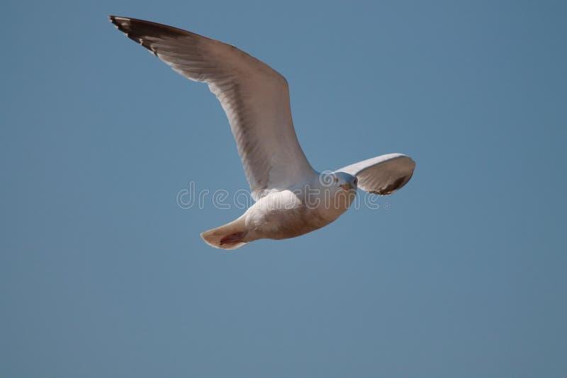 Seemöwen-Fliegen in einer Luft lizenzfreies stockfoto