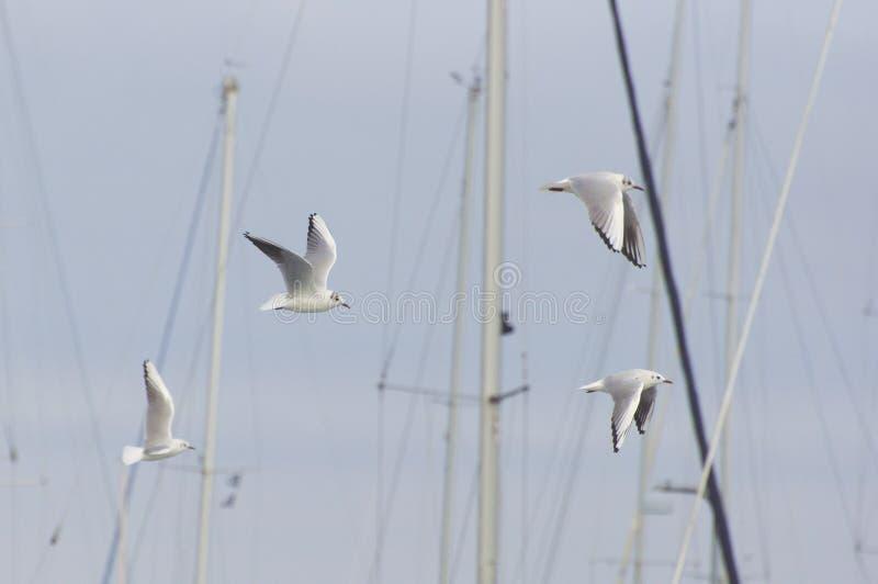 Seemöwen fliegen am Hafen lizenzfreie stockbilder