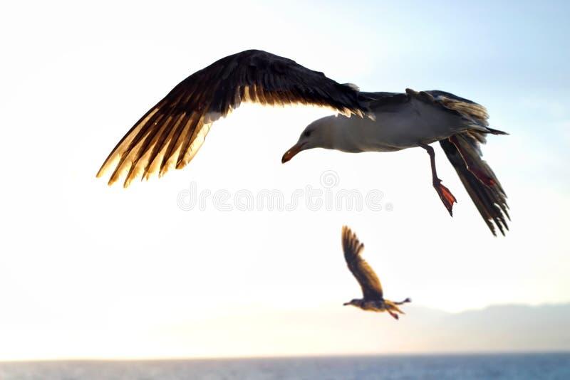 Seemöwen im Flug stockfoto