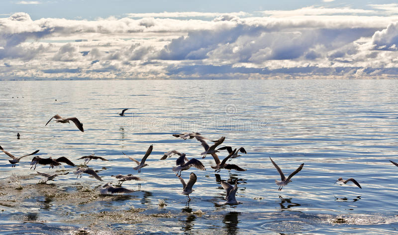 Seemöwen im Meer stockbild