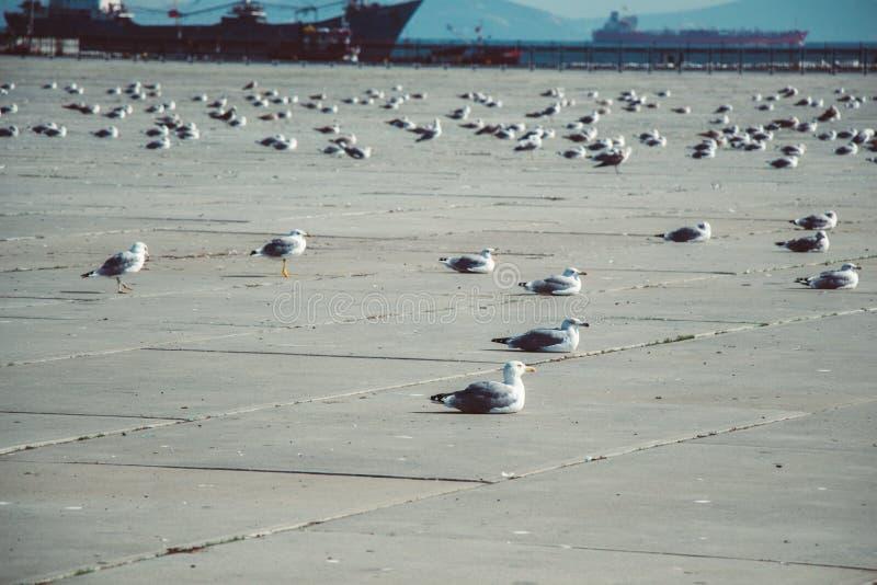 Seemöwen sind auf Rest auf einem konkreten Boden stockbild
