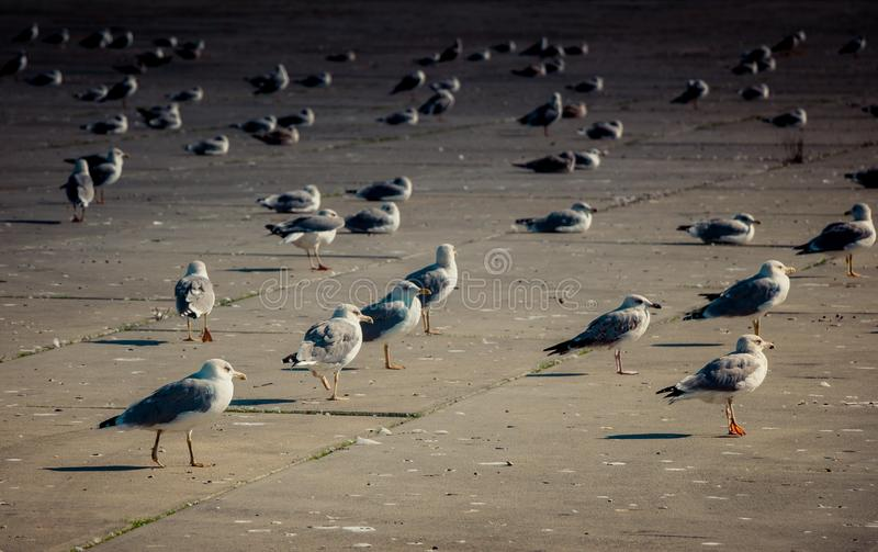 Seemöwen sind auf Rest auf einem konkreten Boden stockfotos