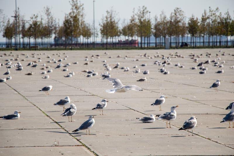 Seemöwen sind auf Rest auf einem konkreten Boden stockfotografie