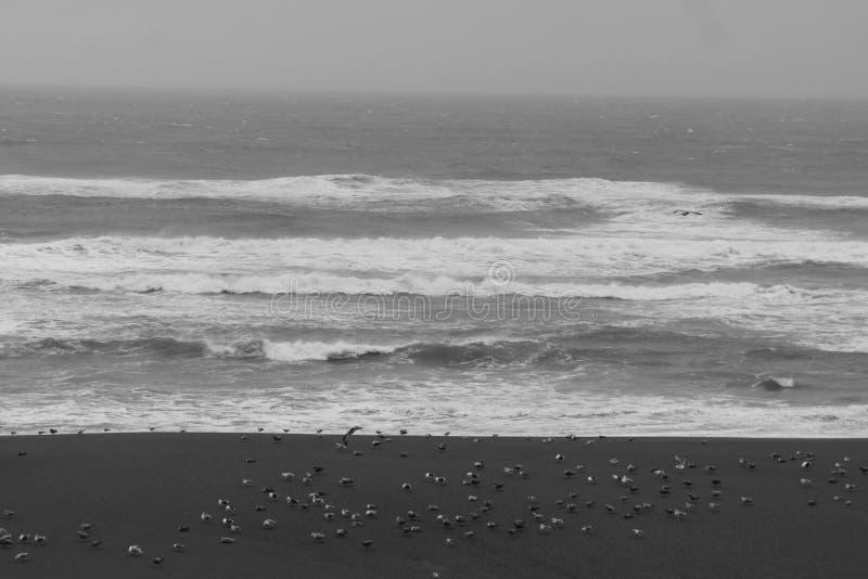 Seemöwen stehen nahe der Küstenlinie, auf den pazifischen Nordufern still stockfoto