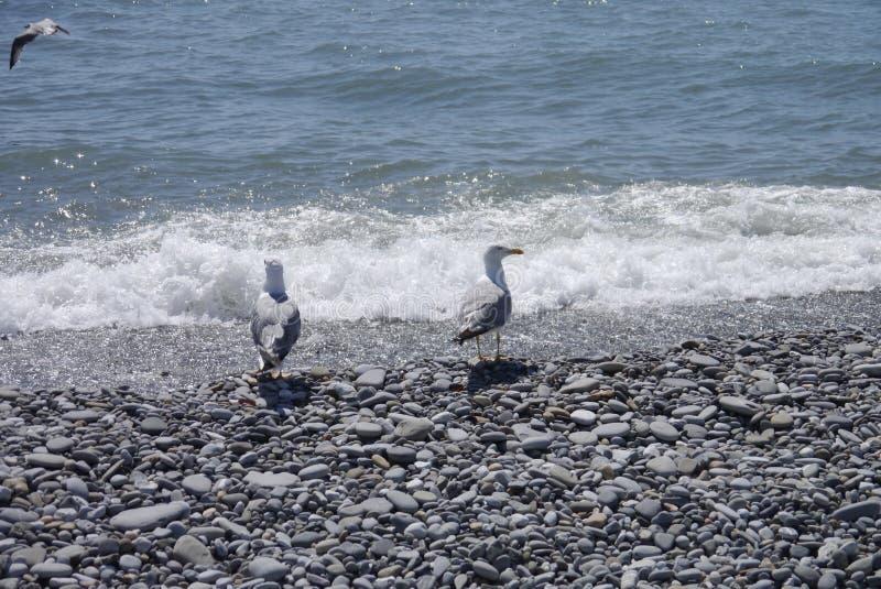 Seemöwen und das Meer stockbilder