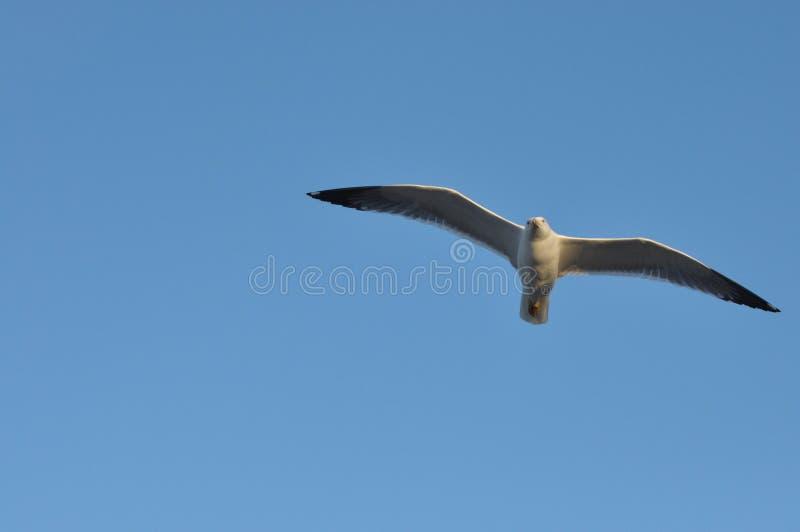Seemöwenfliegen über Ihrem Kopf Alarmierender Vogel lizenzfreies stockfoto