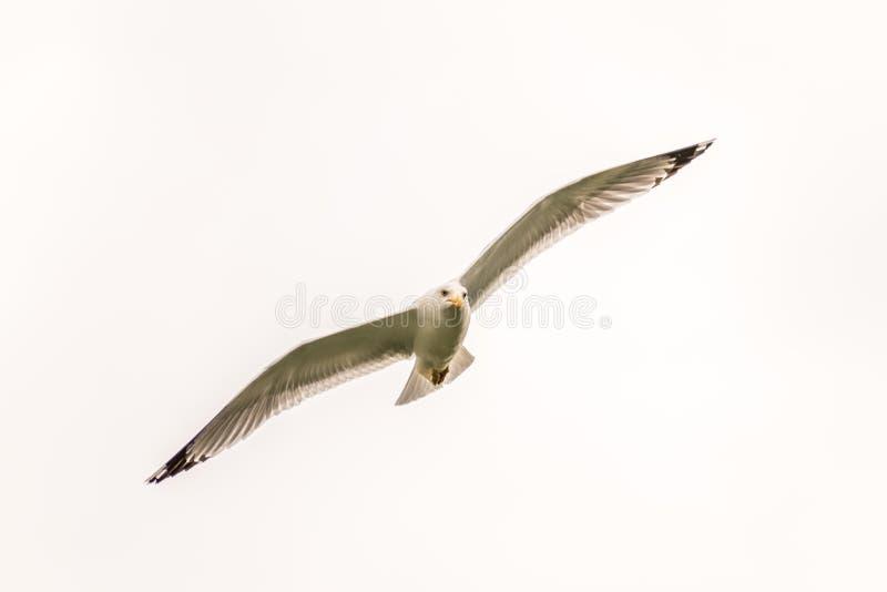 Seemöwenfliegen in der Luft lizenzfreies stockfoto
