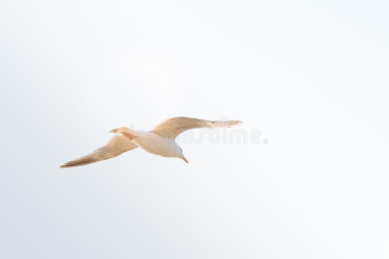 Seemöwenfliegen gegen Himmel mit Kopienraum stockbilder