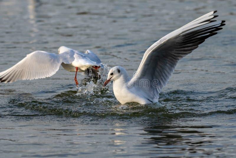 Seemöwenlandung auf Wasser mit einem Spritzen stockfotos