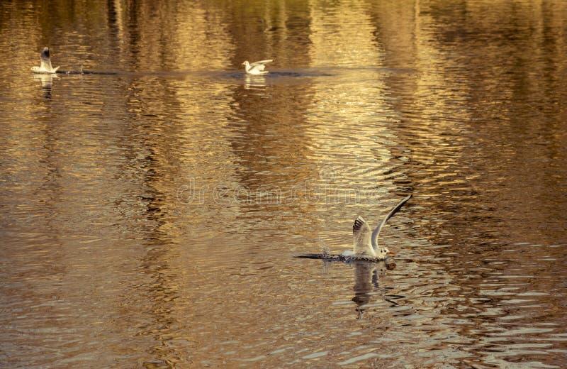 Seemöwenlandung auf Wassersee stockfoto
