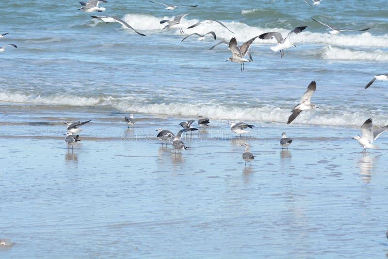Seemöwenmenge geht zum Himmel voran, wenn sie zur Gefahr alarmiert wird lizenzfreies stockbild