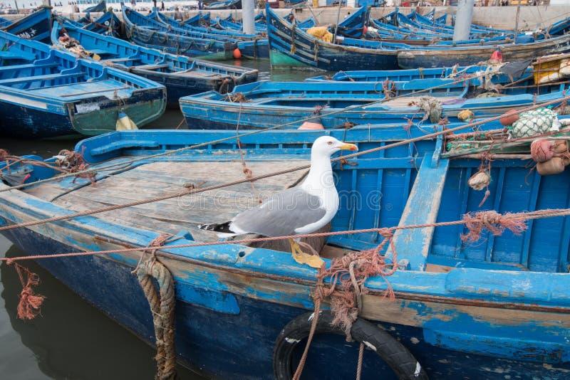 Seemöwenstellung auf einem typischen blauen Boot in einem Essaouira-Fischereihafen, Marokko lizenzfreies stockfoto