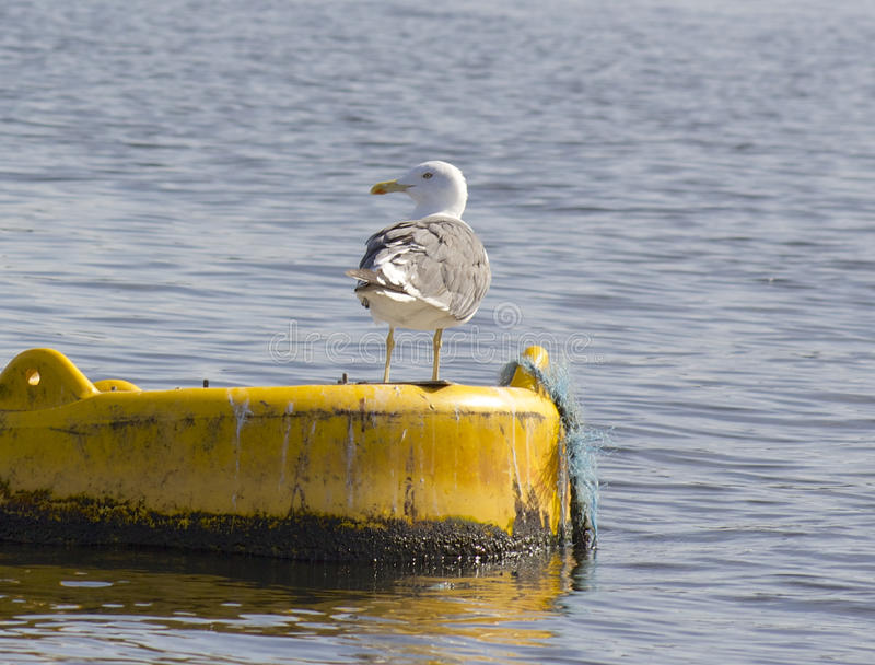 Seemöwenvogel auf Bojenwasser lizenzfreies stockfoto
