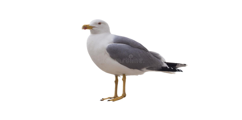 Seemöwevogel lokalisiert auf Weiß stockbilder