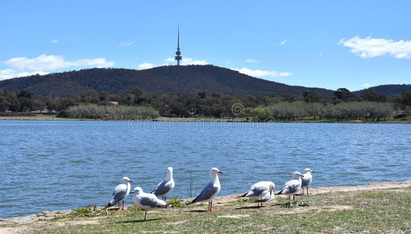 Seem?wen, die im Vordergrund ein Sonnenbad nehmen Panoramablick schwarzen Gebirgsturm-Telstra-Turms und des Sees Burley Griffin i stockbilder