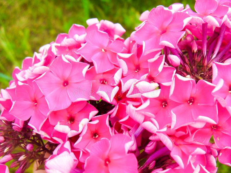 It seems that these simple, but such cute flowers always grew in our gardens stock photo