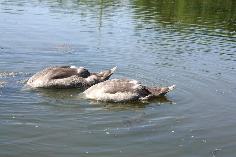 Little swans hid in a moment of danger. It seems to small swans that they hid at the moment of danger stock photo