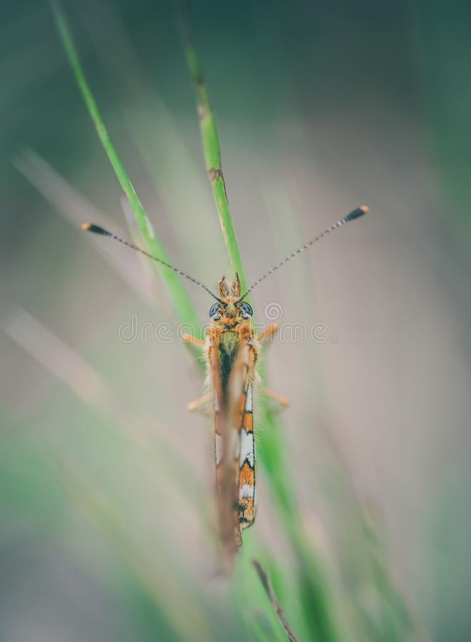 insect alone butterfly orange and white close up of back with its antennae laid out on a green grass stalk stock image