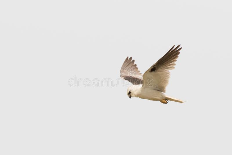Black Shouldered Kite in Australia. Seen in open areas of Australia, this small attractive kite has broad black flashes on its wings stock images