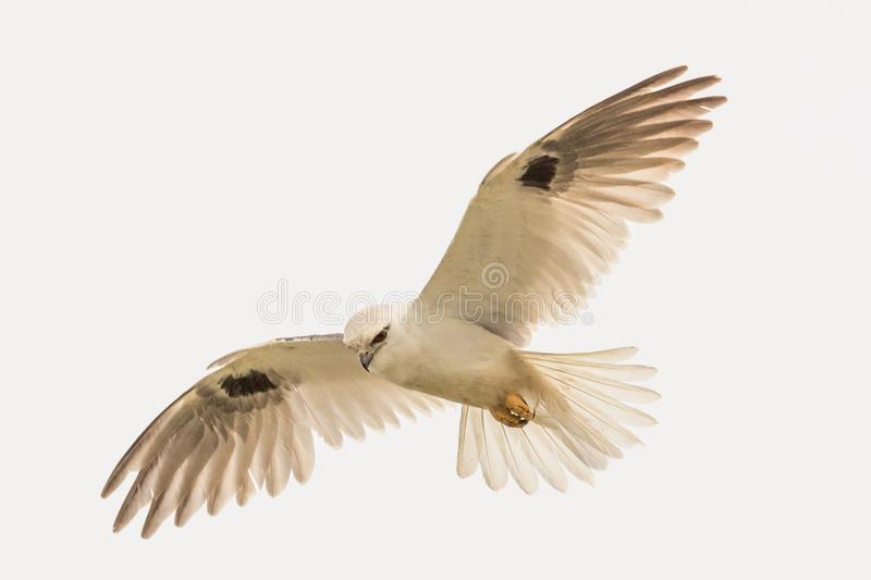 Black Shouldered Kite in Australia. Seen in open areas of Australia, this small attractive kite has broad black flashes on its wings royalty free stock photo
