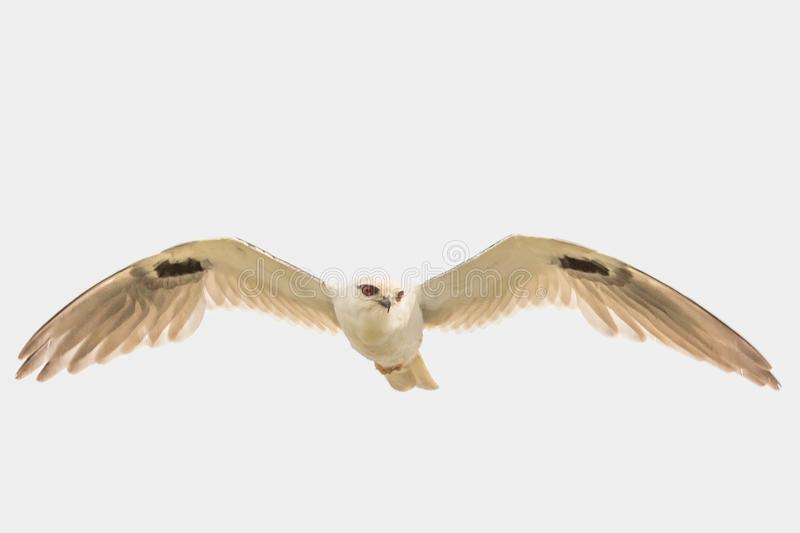 Black Shouldered Kite in Australia. Seen in open areas of Australia, this small attractive kite has broad black flashes on its wings stock photos