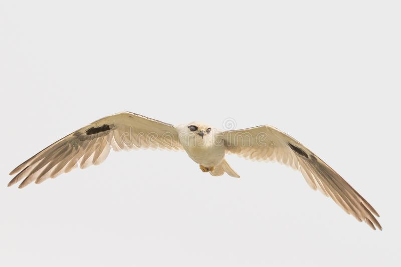 Black Shouldered Kite in Australia. Seen in open areas of Australia, this small attractive kite has broad black flashes on its wings stock image