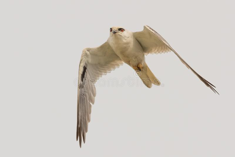Black Shouldered Kite in Australia. Seen in open areas of Australia, this small attractive kite has broad black flashes on its wings stock photography