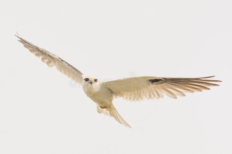 Black Shouldered Kite in Australia. Seen in open areas of Australia, this small attractive kite has broad black flashes on its wings royalty free stock photos