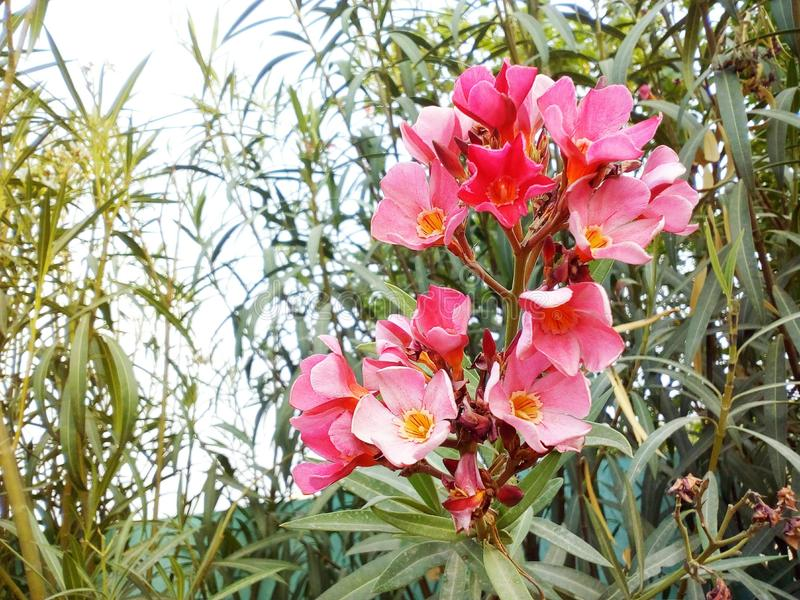Pink flower. royalty free stock images