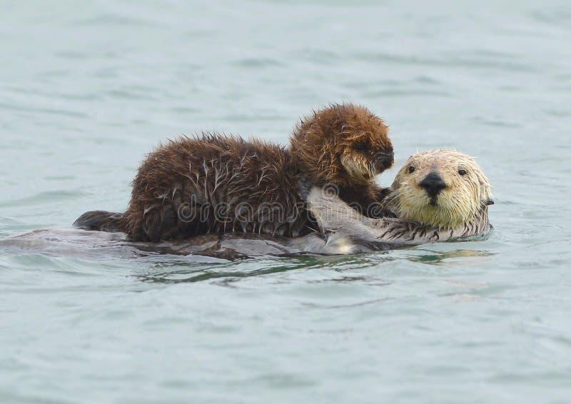 Seeottermutter mit entzückendem Schätzchen/Kind im Kelp, große SU stockfotografie