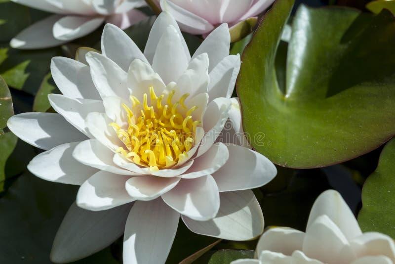 Seerose in einem botanischen Garten stockfotos