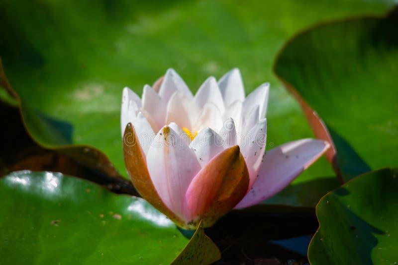 Seerose im Teich, rosa Seerose stockbilder