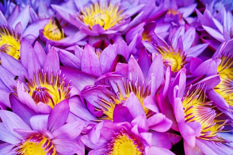 Seerose, Lotus, Buddhismus-Blume lizenzfreie stockfotografie