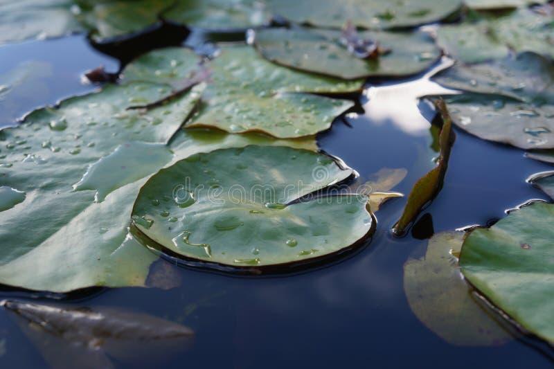 Seerose nach Regen unscharfem Hintergrund lizenzfreies stockbild