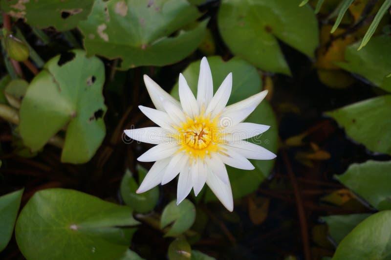 Seerose- oder Sternlotos mit grünen Blättern lizenzfreies stockbild