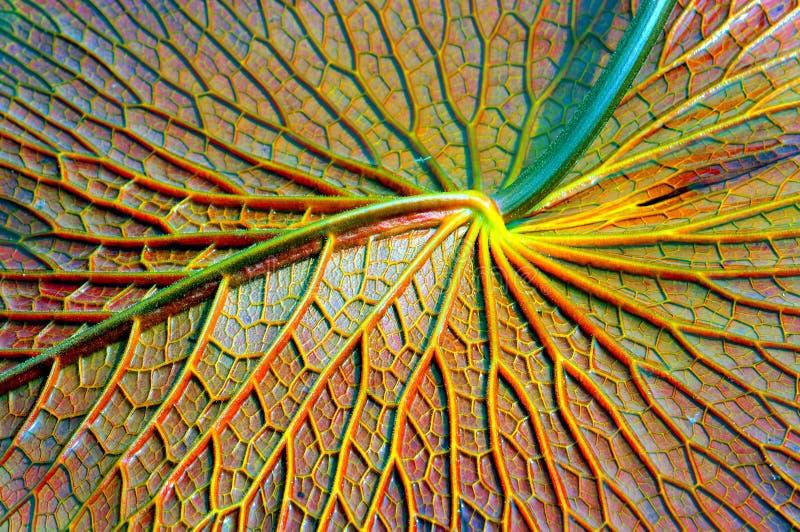 Seeroseblattabschluß oben stockbilder