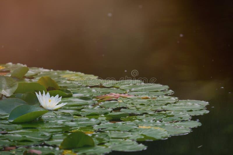 Seerosefeld mit einer weißen Blume einer Seerose, mit absichtlichen Sonnenflecken und Überbelichtung im Backlighting lizenzfreies stockbild