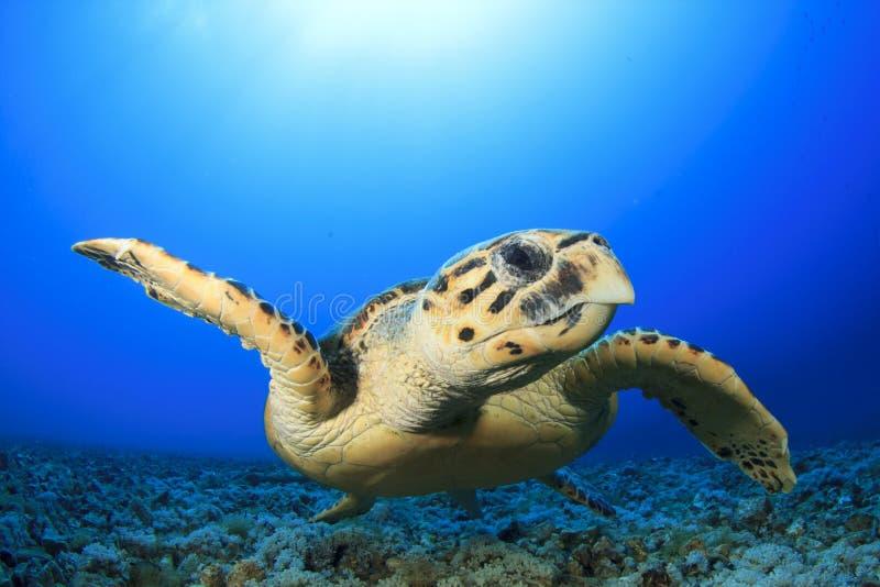 Seeschildkröte stockfotografie