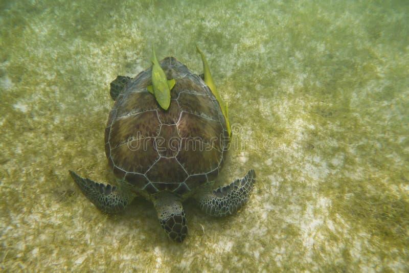 Seeschildkröte Mit Fischen Lizenzfreies Stockfoto