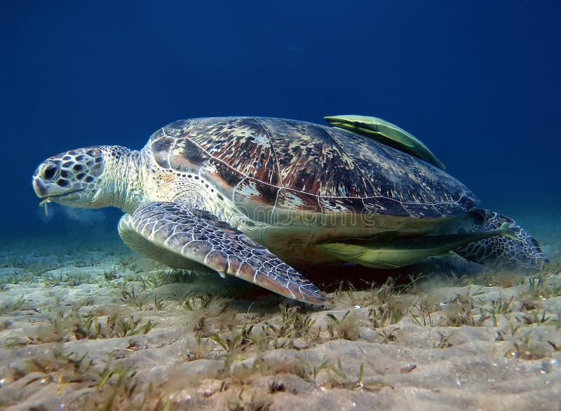 Seeschildkröte und Suckerfish die Unterseite stockfoto