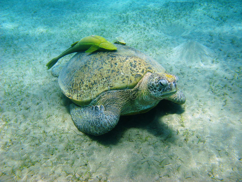 Seeschildkröte und Suckerfishes stockbild