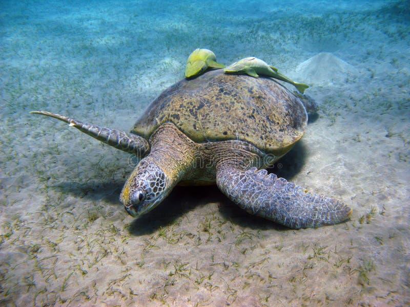 Seeschildkröte und Suckerfishes im Roten Meer lizenzfreie stockfotografie